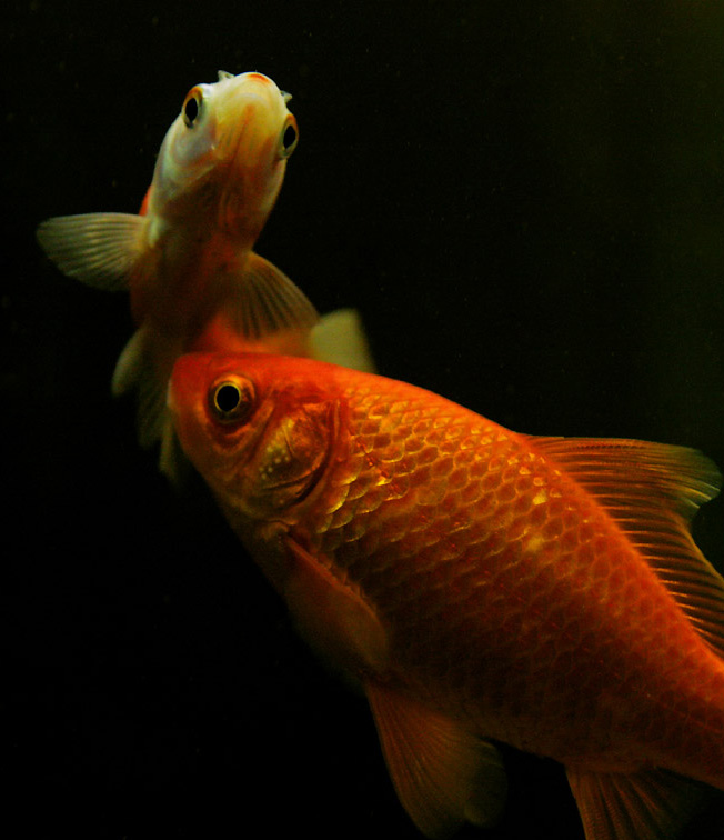 Der Goldfisch und seine Urform