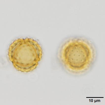 019_x60_4_PO265_22012013_SU_Ambrosia_u_Urticaceae