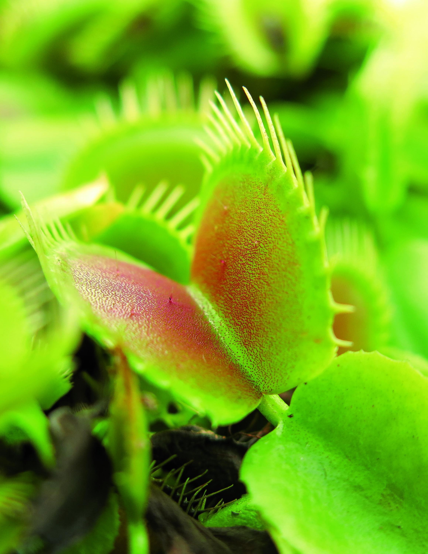 Die grüne Gefahr: fleischfressende Pflanzen