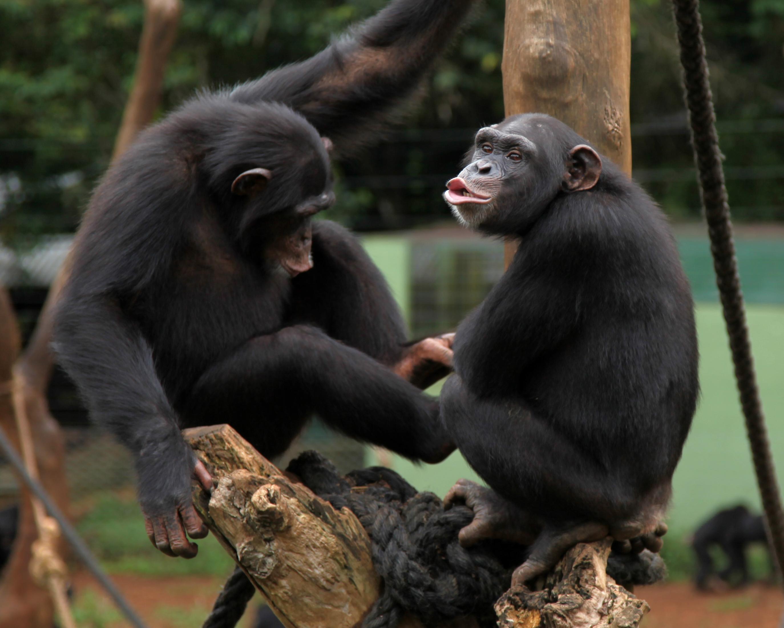 Warum können Affen nicht sprechen?